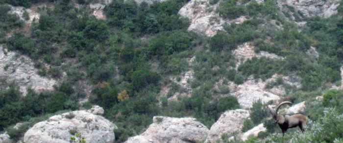 Cabra hispànica